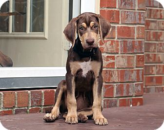 Catahoula Leopard Dog Mix Puppy for adoption in Salem, New Hampshire - PUPPY REESE