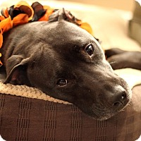 Adopt A Pet :: Brody - Reisterstown, MD