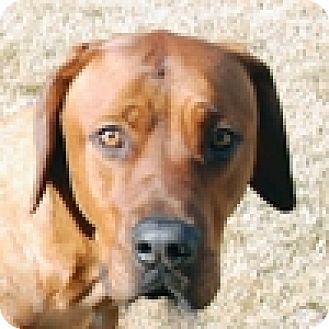 Great Dane/Rhodesian Ridgeback Mix Dog for adoption in Portola, California - Finnagan