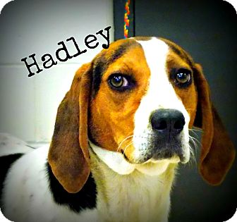 Treeing Walker Coonhound Mix Dog for adoption in Defiance, Ohio - Hadley