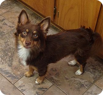 Chihuahua Mix Dog for adoption in Redding, California - Butch Cassidy