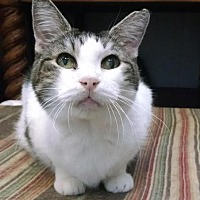 Domestic Shorthair Cat for adoption in St. James City, Florida - Merry
