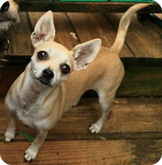 Chihuahua/Dachshund Mix Dog for adoption in Newtown, Connecticut - Mama Mia