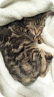 American Shorthair Kitten for adoption in Atlanta, Georgia - Lobster