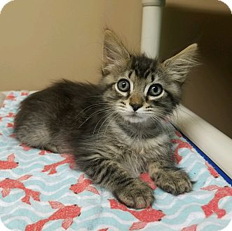 Domestic Mediumhair Kitten for adoption in Germantown, Tennessee - Tom Tiger