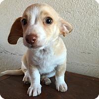 Adopt A Pet :: Bud - Phoenix, AZ