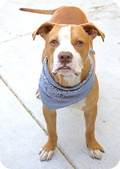 Pit Bull Terrier Mix Dog for adoption in Dublin, California - Johnny
