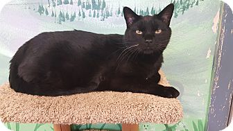 Domestic Shorthair Cat for adoption in Cody, Wyoming - Ferguson