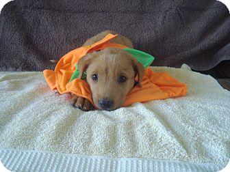 Australian Shepherd/Labrador Retriever Mix Puppy for adoption in Old Bridge, New Jersey - Sun