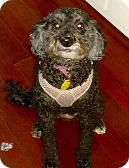 Poodle (Miniature)/Schnauzer (Miniature) Mix Dog for adoption in Weeki Wachee, Florida - Zoey