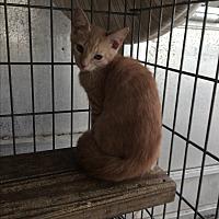 Adopt A Pet :: Sherbert - Sunny Isles Beach, FL
