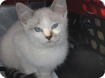 Siamese Kitten for adoption in Newtown, Connecticut - Kris