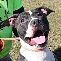 American Bulldog/Labrador Retriever Mix Dog for adoption in Decatur, Georgia - Klutch - A Dude's BF!
