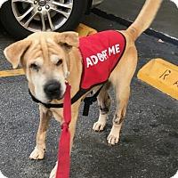 Adopt A Pet :: CARLY-GIRL - Orlando, FL
