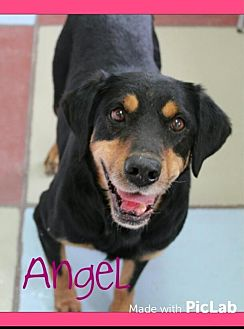 Shepherd (Unknown Type) Mix Dog for adoption in Westminster, Colorado - Angel - courtesy listing