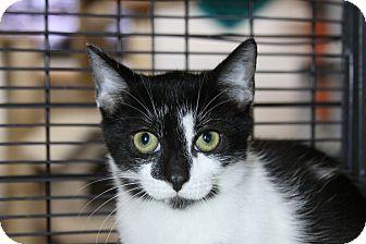 Domestic Shorthair Kitten for adoption in Sarasota, Florida - Chattanooga