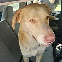 Adopt A Pet :: Alphie - San antonio, TX