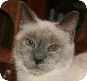 Siamese Cat for adoption in tucson, Arizona - Bunny