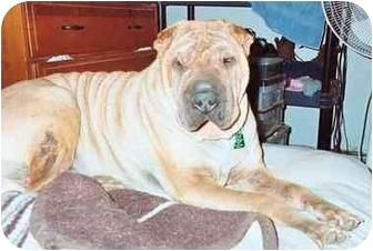 Shar Pei Dog for adoption in Houston, Texas - Stanley