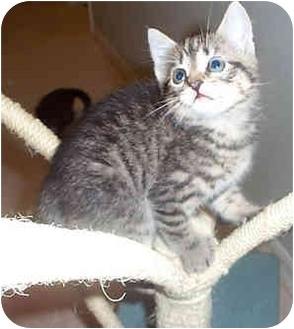 Domestic Shorthair Kitten for adoption in Tampa, Florida - Kashi