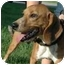 Photo 2 - Beagle Mix Dog for adoption in Walker, Michigan - Ace