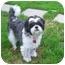 Photo 1 - Shih Tzu/Lhasa Apso Mix Dog for adoption in Ile-Perrot, Quebec - Jarvis