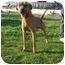 Photo 2 - Rhodesian Ridgeback/Labrador Retriever Mix Dog for adoption in Freeport, New York - Rusty