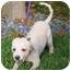Photo 4 - Bichon Frise Puppy for adoption in Simi Valley, California - Sugar