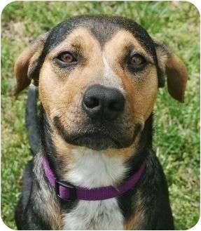 Hound (Unknown Type)/Labrador Retriever Mix Dog for adoption in Spring Valley, New York - Lacey