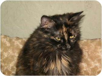 Domestic Longhair Cat for adoption in Morris, Pennsylvania - Nina
