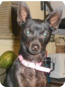 Chihuahua Mix Dog for adoption in Yuba City, California - Raina