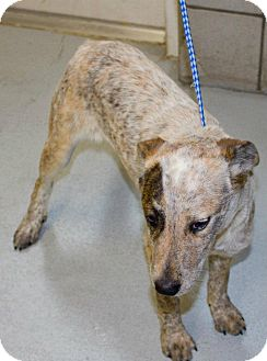 Cattle Dog Mix Puppy for adoption in Justin, Texas - Shelly