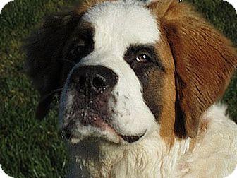 St. Bernard Dog for adoption in Glendale, Arizona - BANDIT