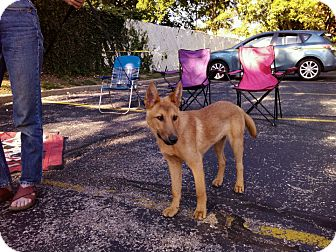 Belgian Malinois/German Shepherd Dog Mix Puppy for adoption in all of, Connecticut - Ivan