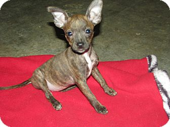 Boston Terrier/Chihuahua Mix Puppy for adoption in Somers, Connecticut - Bridget - Cute as a bug!