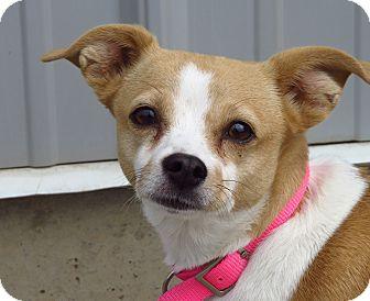 Chihuahua Mix Dog for adoption in Meridian, Idaho - Stella