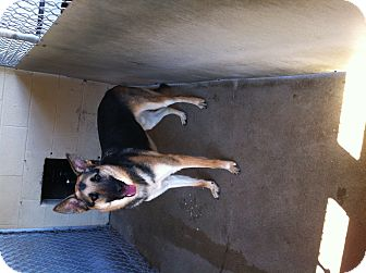German Shepherd Dog Mix Dog for adoption in Naugatuck, Connecticut - Tiny Tim