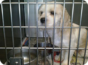 Cocker Spaniel/Shih Tzu Mix Dog for adoption in Jacksonville, Florida - Buddy Holly