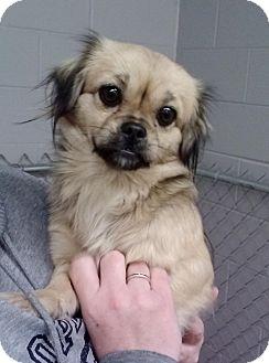 Pekingese Mix Dog for adoption in Florence, Indiana - Arianna