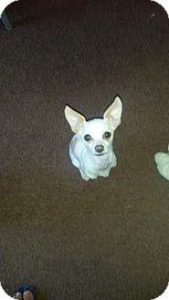 Chihuahua Dog for adoption in San Diego, California - Snowy