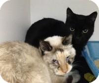 Domestic Shorthair Cat for adoption in Colorado Springs, Colorado - Elvira