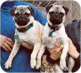 Pug Dog for adoption in Clementon, New Jersey - Otis & Oscar