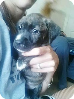 Labrador Retriever/Boxer Mix Puppy for adoption in Chicago, Illinois - JAKE
