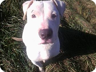 Pit Bull Terrier Mix Dog for adoption in Ithaca, New York - Fitz