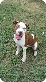 Boxer/Spaniel (Unknown Type) Mix Dog for adoption in Waterbury, Connecticut - GENO