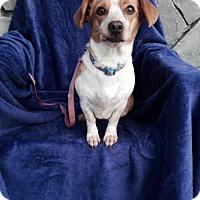 Adopt A Pet :: Magnificent Moolah - Vacaville, CA