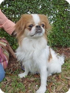 Japanese Chin Dog for adoption in Ft. Lauderdale, Florida - Sunny