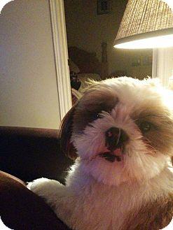 Shih Tzu Puppy for adoption in Woodstock, Ontario - Oliver