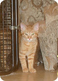 Domestic Shorthair Kitten for adoption in Flushing, Michigan - Autumn