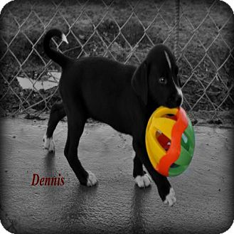 Labrador Retriever/Pit Bull Terrier Mix Puppy for adoption in Orland, California - DENNIS